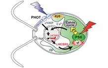 A blue-light photoreceptor mediates the feedback regulation of photosynthesis