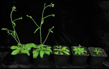 Arabidopsis thaliana, a plant model for the study of metal detoxification