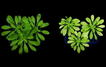 The yin-yang effect of uranium in Arabidopsis thaliana