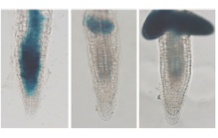 Response of the Arabidopsis root system to a stress induced by uranium: Double or nothing!